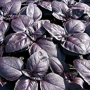 Basilikum, RED RUBIN, Kräuter-BASILIKUM, 120 Samen!GroCo