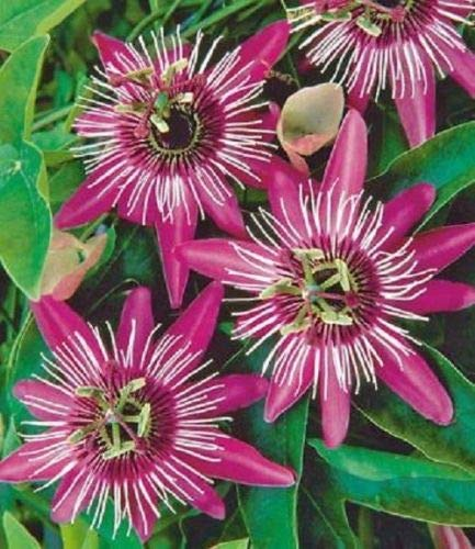 10 Passion Rare Rose Blanc Fleur Graines Passiflora Escalade Exotic Tropical