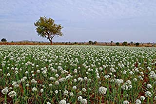 Home Comforts Seed-Farming Crop India Onion Flower Field Vivid Imagery Laminated Poster Print 24 x 36