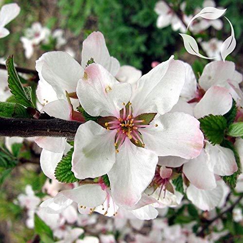 vegherb Nanking Kirsche Prunus Tomentosa Seeds