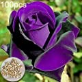 100Pcs Rosa Blue Curiosa Seeds Home Garden Supplies Decoration Ornaments