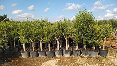 Olivenbaum Olive '20 Jahre' 170-190 cm, beste Qualität, winterhart, Olea Europaea