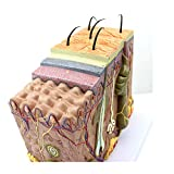 50X TDOU 35/50/70 Times Human Big Anatomical Skin Magnified Tissue Structure Model with Hair 35X/50X/70X Enlarged for Biology Minimally Invasive Cosmetic Surgery Teaching Models(50X)