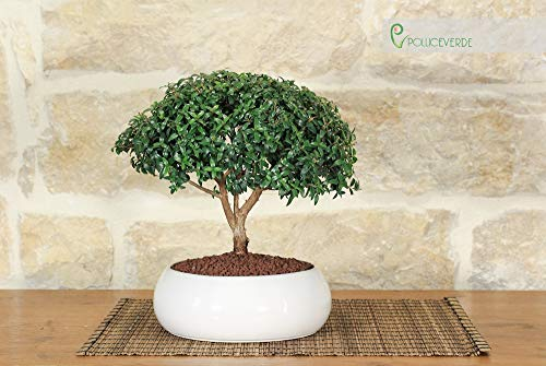 Bonsai di Mirto in ciotola bassa