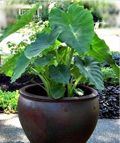 2 Elephant Ear -Colocasia esculenta-(Bulbs Size 5-7) Give Your Garden a Tropical...