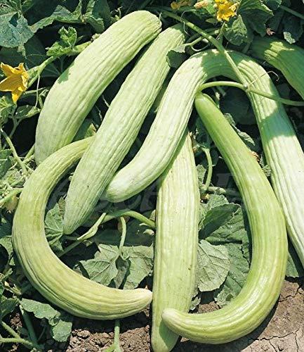 """portugiesische Gurke""""Alficoz"""" 25 x Samen aus Portugal 100% Natur (ohne Chemie) handgepflückt und sonnengetrocknet/Massenträger sehr intensiver Geschmack"""