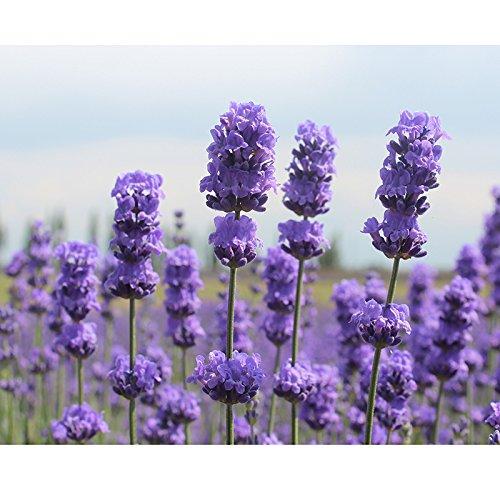 200 unids Semillas de Lavanda, Semillas de Flores Planta Home Yard Decor...