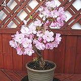 pittospwer 20Pcs Raro Sakura Cherry Blossoms Semi Fiore Pianta Bonsai In vaso Home Decor