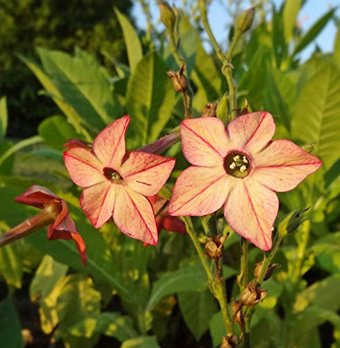 Gemischter Samen von Zier-Tabak - Nicotiana x sanderae - 9000 samen