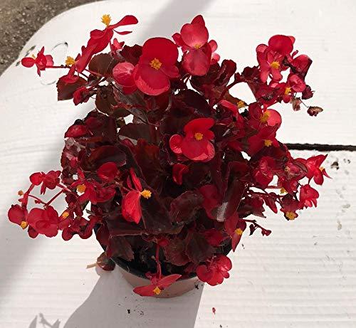 Begonias ELATIOR Pack 6 Plantas Distintos colores -Planta Natural -Planta Jardín- Pack 6 Plantas - 14 cmø - Vipar Garden 30