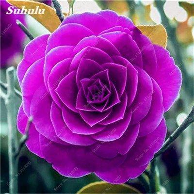 Grosses soldes! 10 Pcs Camellia Graines, Graines Bonsai Fleur, couleur rare, bonsaïs d'intérieur / extérieur Plante en pot pour jardin Facile à cultiver 16