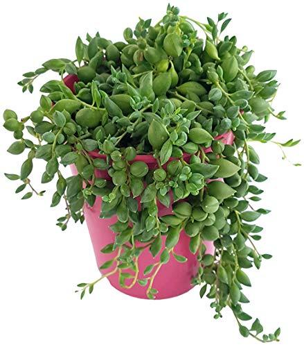 Fangblatt - Senecio rowleyanus - Erbsenpflanze - Erbse am Band - exotische Sukkulente - Perlenschnur zum hängen - pflegeleichte Zimmerpflanze (L - Hochtopf)