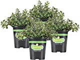 Bonnie Plants German Thyme Live Herb Plants - 4 Pack, Perennial in...