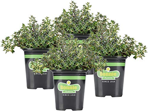 Bonnie Plants German Thyme Live Herb Plants - 4 Pack, Perennial in Zones 5 To 9,...