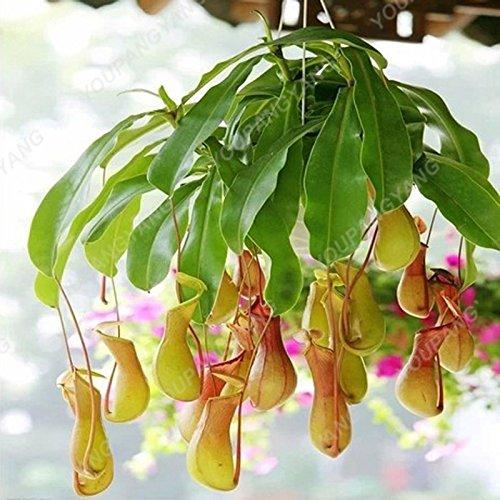 50 graines/l'unité Graines de plantes insectivores Potted Dionaea rares Dionée Bonsai graines terrestres Miracle Bonsai plantes Noir