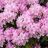 Rhododendron yak. Tinas Heinje Alpenrose 30-40cm...
