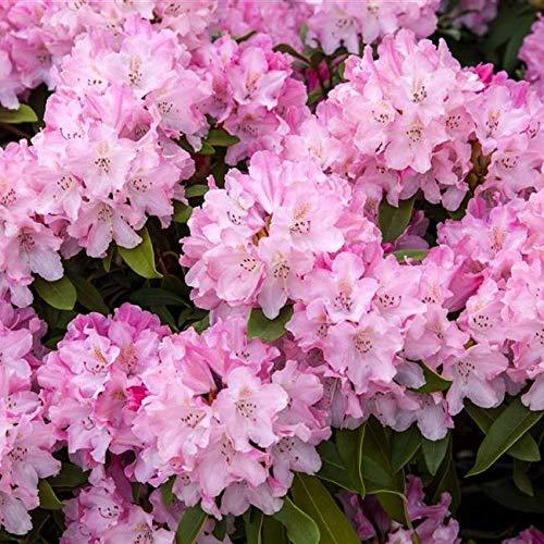 Rhododendron yak. Tinas Heinje Alpenrose 30-40cm im Topf gewachsen