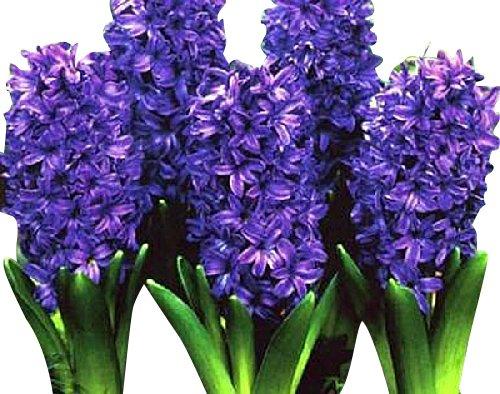 5 Royal Purple Hyacinth Bulbs - Peter Stuyvesant
