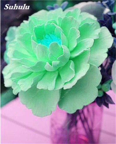 Chinese National Flower 5 graines Pcs Pivoine Plante en pot Paeonia suffruticosa Arbre Terrasse Cour Illuminez votre jardin personnel 10