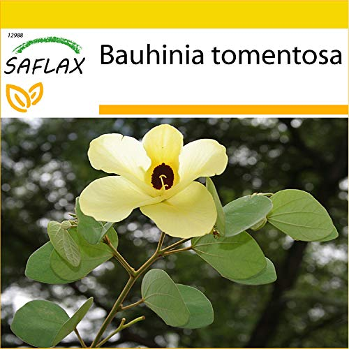 SAFLAX - Kit de culture - Arbre aux tulipes - 30 graines - Bauhinia tomentosa