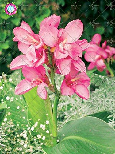 10 pcs couleurs mélangées Canna Lily Graines Belle Bonsai Graines de fleurs Feuillage Magnifique vivace Plante en pot pour jardin 1