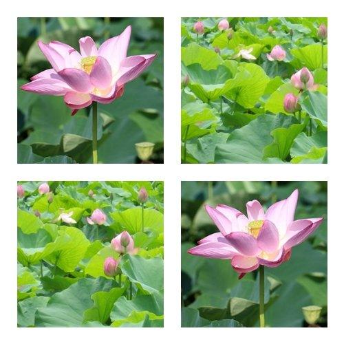 Nelumbo nucifera - Indische Lotusblume - 50 Samen -