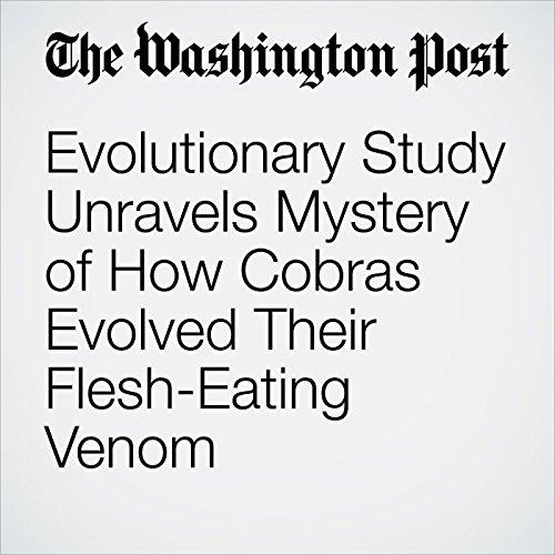 Evolutionary Study Unravels Mystery of How Cobras Evolved Their Flesh-Eating Venom copertina