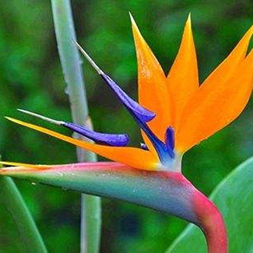 Nouvelle arrivée! 100 Indoor Plante en pot fleur d'oranger Strelitzia Reginae Bird Of Paradise Seeds maison Jardim Bonsai Sementes ga 4
