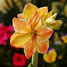 2 PCS / lot Bulbs (Yellow) Hippeastrum Bulbs Balcony Potted Plants Bosai Flowers (they are not seeds) They are Bulbous
