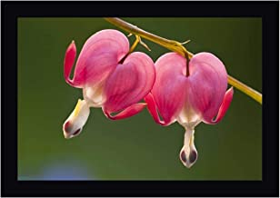 Pennsylvania Two Bleeding Heart Flowers by Nancy Rotenberg 15