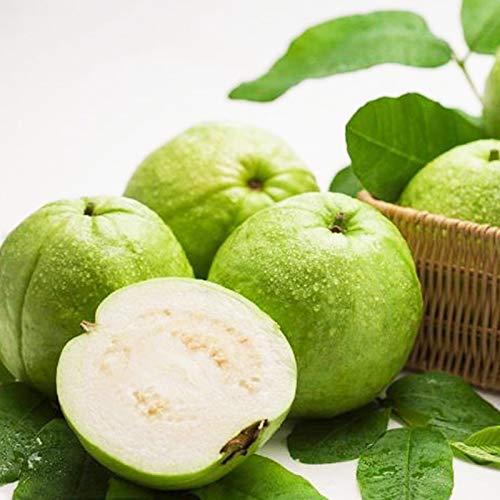 Planta Flor Vegetal Fruta Semillas De Árbol 1000pcs/Bag Semillas De Guayaba Comestibles Buena Cosecha Semillas De Frutas Blancas Nutritivas Premium Para Jardín - Guayaba Seeds