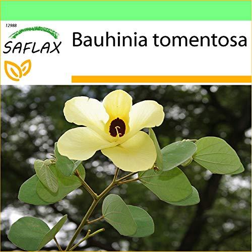 SAFLAX - Jardin dans la boîte - Arbre aux tulipes - 30 graines - Bauhinia tomentosa