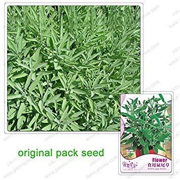 Vistaric 12 graines/paquet, sauge comestible, graines de fines herbes vivaces graines de sauge bonsaï cour décoration de la maison sécheresse plante d'intérieur
