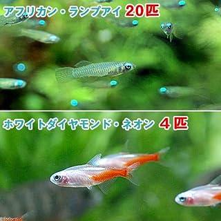 (熱帯魚)アフリカン・ランプアイ Sサイズ(20匹) + ホワイトダイヤモンド・ネオンテトラ(4匹) 北海道・九州・沖縄航空便要保温