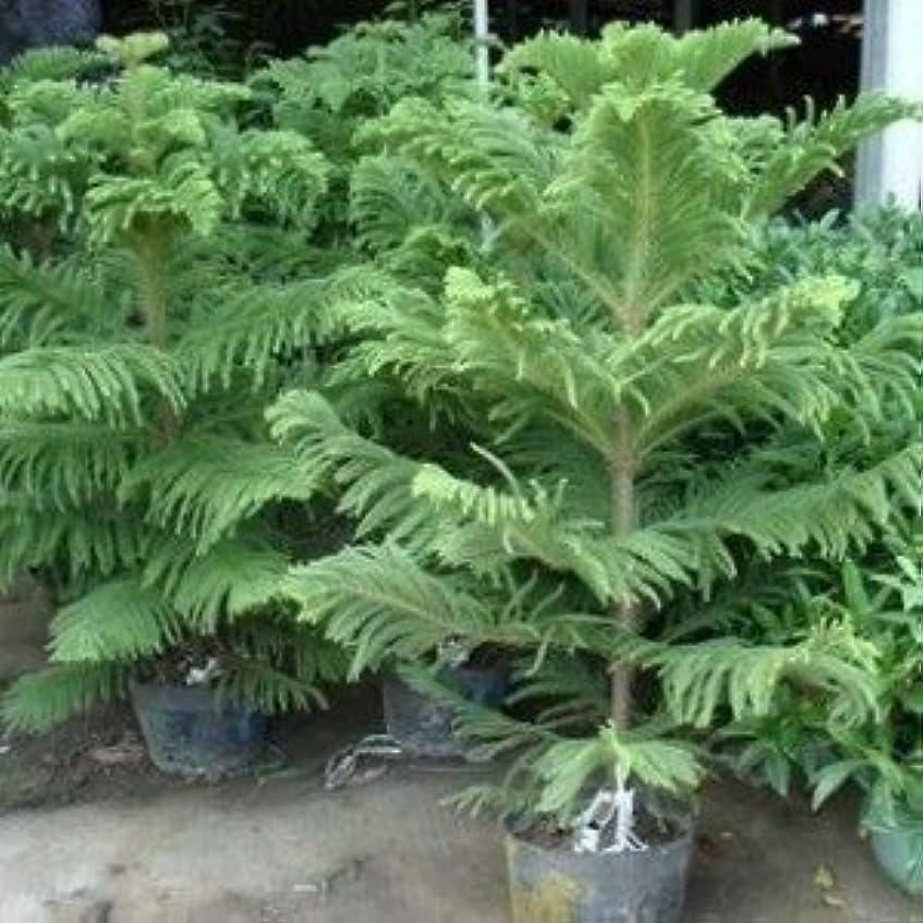 フィドル引き出しタイプSEEDSのPLAT会社-2016 50個のアローカリア種子屋外植物さわやか盆栽種子観葉植物の木の種子の49%