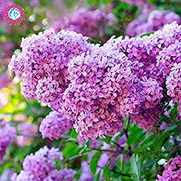 100pcs Lilas Fleur Bonsai Graines Facile vivace Blooming Cultiver Syringa Plantes pour la maison Balcon Jardin Cour