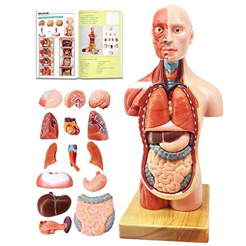 EVOTECH 2021 Newest Human Body Model for Kids, 15 Pcs Removable 11 inch Human Torso Anatomy Model with Heart Head Skull Brain Skeleton Model, Age 4+, Preschool & School Medical Education Display