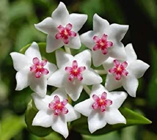 20 pcs White Pink Hoya Seeds Ball Orchard Flower Garden Seed Orchard Plant