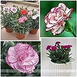200種混合色カーネーションの花の種ホームガーデンのための美しい花の種