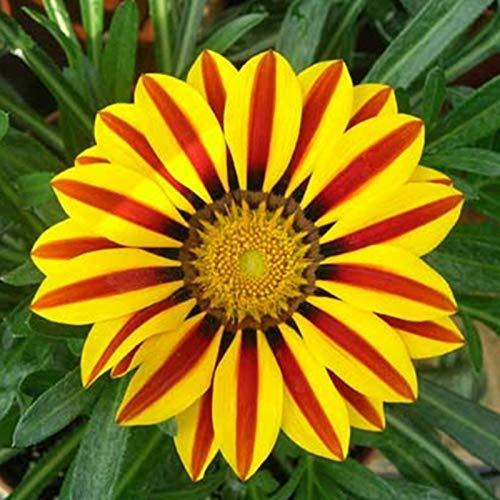 TENGGO Egrow 200 Teile/Beutel Gazania Rigens Samen Semillas Gazania Splendens Chrysantheme Samen Blumen Samen für Bonsai Garten Balkon Pflanzen - Gelb