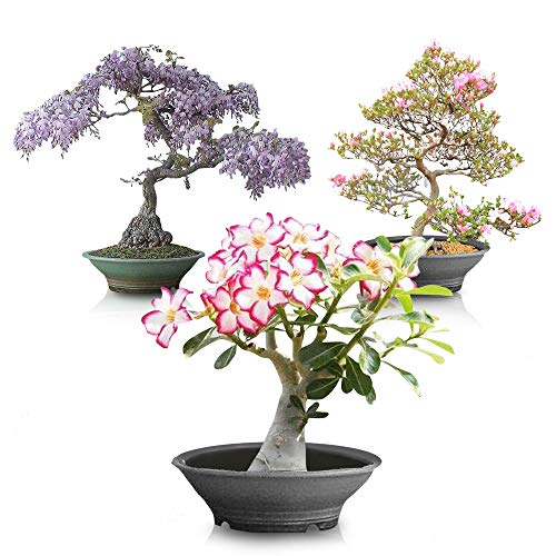 Flowering Bonsai Tree Bundle #2 - All Flowering Tree Seeds, Vibrant Colors - Desert Rose, Japanese Cherry Blossom, Chinese Wisteria