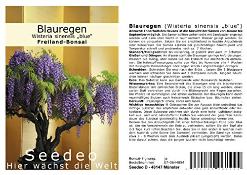 Seedeo® Blauregen Wisteria sinensis Blue Bonsai 8 Samen