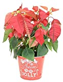 Costa Farms Live Red Christmas Poinsettia, 15-Inches Tall, Ships in Tin Decor Planter, Fresh From Our Farm, Great as Holiday Gift or Christmas Decoration