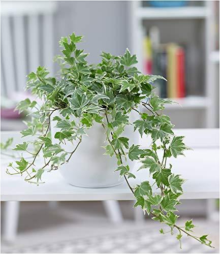 BALDUR-Garten Efeu White Ripple, 1 Pflanze Luftreinigende Zimmerpflanze Hängepflanze für die Wohnung