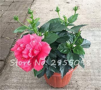 Virtue Zimmer Zierpflanze Mini Bonsai Hibiscus Samen, seltene Topfblumensamen, mehrjährige Blumen Garten Gewächshaus Pflanze 100 Stück 5