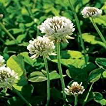 3LBS White Dutch Clover