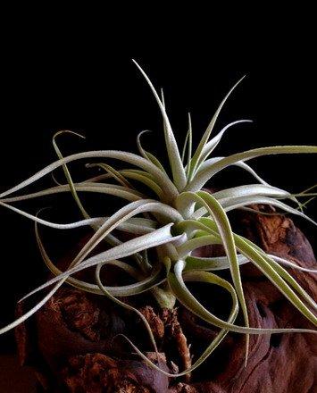 WFW wasserflora Tillandsia albida