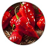 bhut jolokia red chillies Contiene 50 semi dello specie Naga Bhut Jolokia, rosso.
