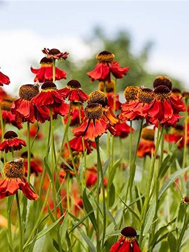 Keland Garten - 20pcs Herbst-Sonnenbraut orange-rot, Blumensamen winterhart mehrjährig für naturnahe Gartenanlagen, Bauerngärten, in Staudenbeeten oder Blumenrabatten