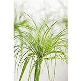 Echter Papyrus 50 cm Papyrus-Pflanze Cyperus papyrus Zyperngras